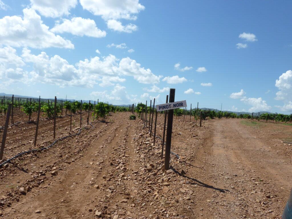 The row of pinot noir at Sonoita Vineyards